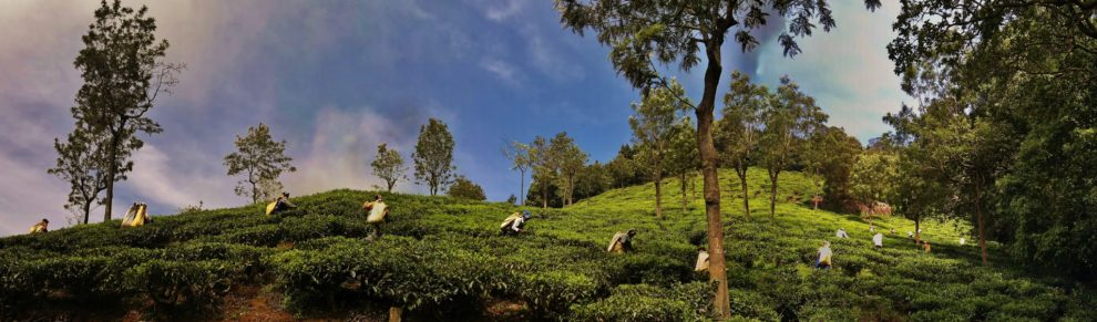 Ooty - Piantagione di Té - India Ph. C. Erny